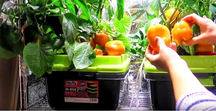 水耕栽培でパプリカを栽培しよう