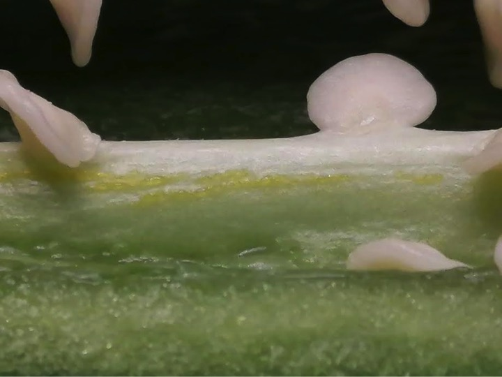 ハラペノトウガララシの胎座、油滴