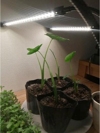 バケツでサトイモを栽培しよう