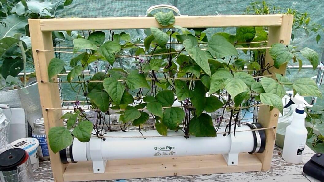 サヤインゲン 水耕栽培