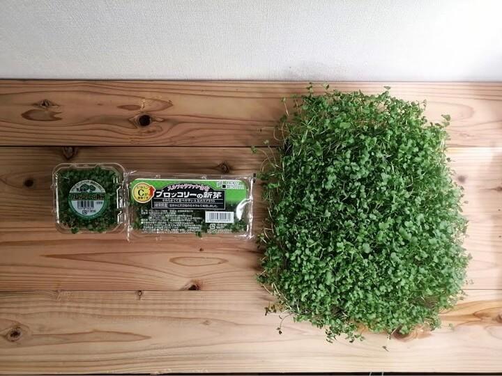 家庭菜園のコスパ ブロッコリースプラウト