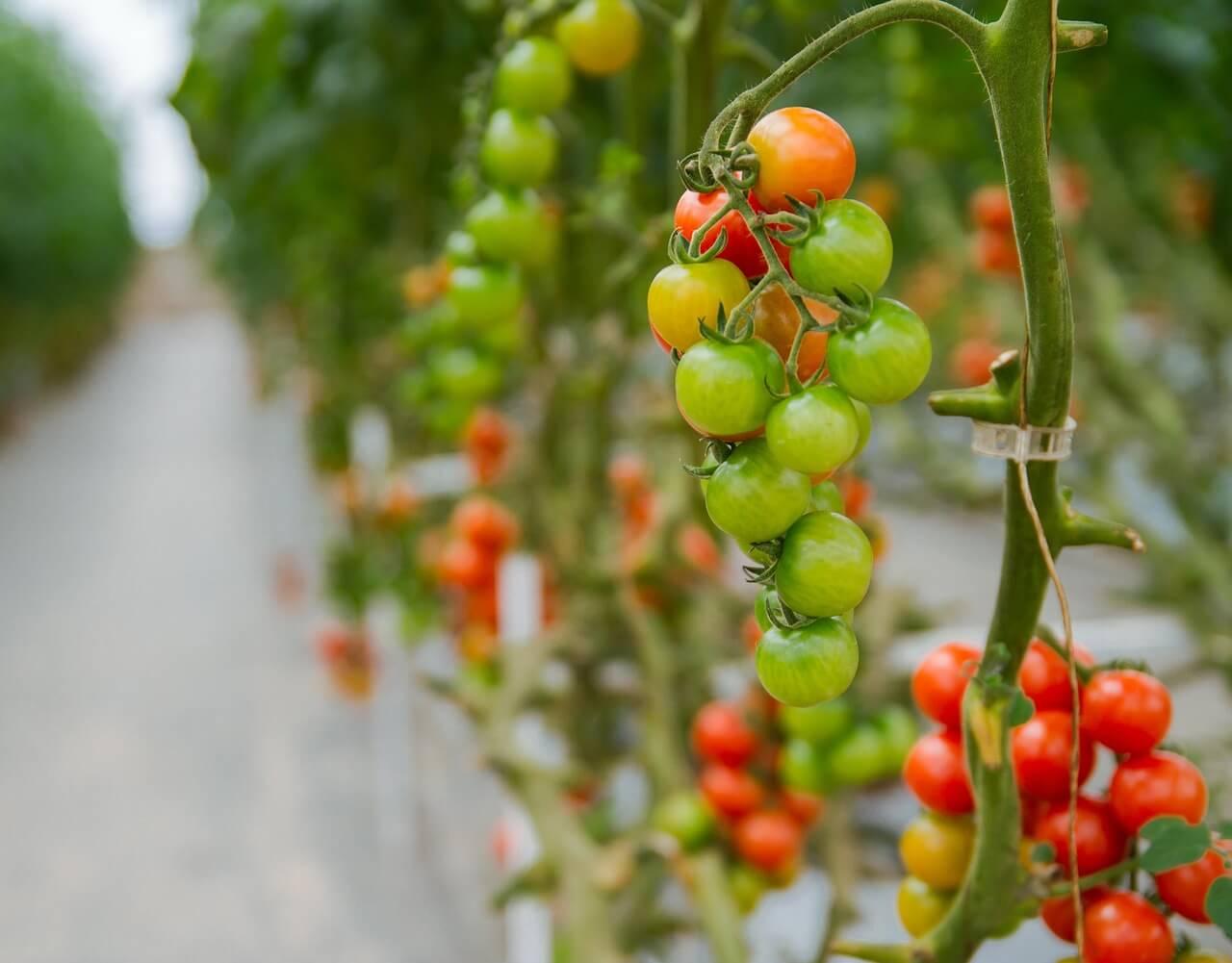 養液栽培でトマトを育てる