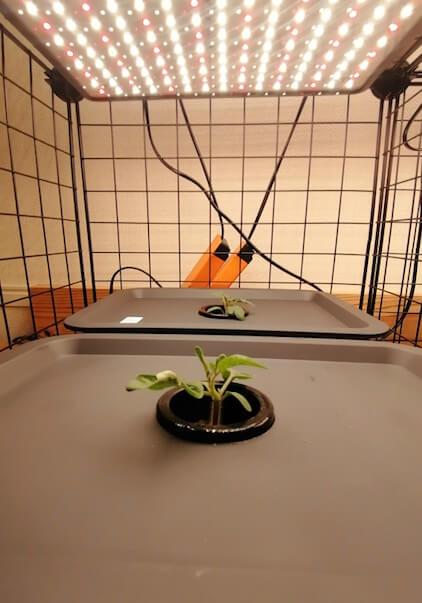 水耕栽培トマト 初期
