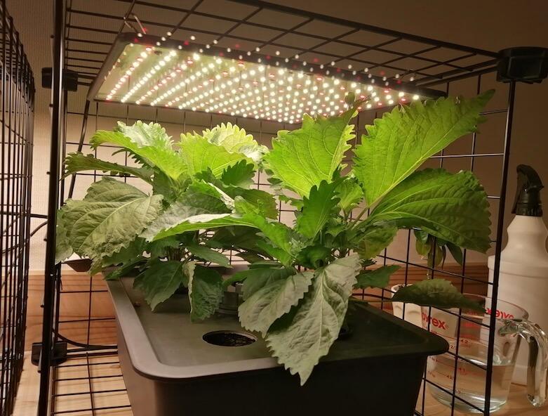 キューブ水耕栽培で大葉を栽培しよう hydroponic perilla
