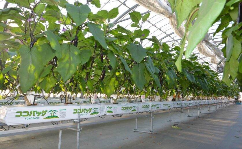 ナスの養液栽培のポイントは給水量とEC管理!